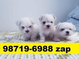 Canil Filhotes Cães Perfeitos BH Maltês Basset Shihtzu Yorkshire Poodle Beagle