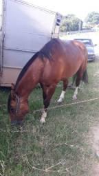 Vendo ou troco cavalo bom e encilhado