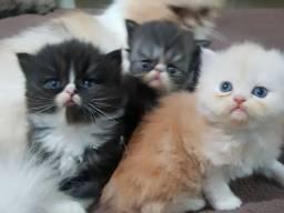 Título do anúncio: Filhotes Machos Gato PERSA