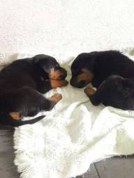 Título do anúncio: Vendo casal de rottweiler, de 45 dias