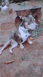 Título do anúncio: Vendo Pitbull com oito meses, cachorra muito dócil