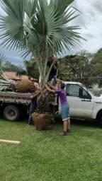 Título do anúncio: Palmeira azul