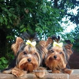 Título do anúncio: Yorkshire Terrier