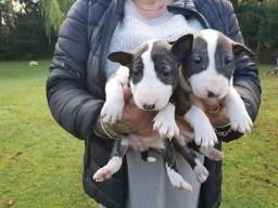 Título do anúncio: Bull Terrier lindos filhotes, fazemos entregas com pagamento no ato.