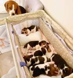 Título do anúncio: Lindos filhotes Beagle por encomenda e a pronta entrega machinho e fêmea !!!