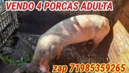 Título do anúncio: Porco adulto
