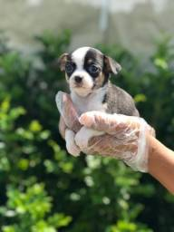 Título do anúncio: Chihuahua.