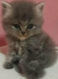 R$ 700 Filhotes de gatos persas,cinza e creme machos.Entrego em Curitiba e região