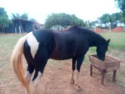 Cavalo e vacas gir puras PO, e um garrote