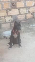 Vendo cadela de raca APBT pitbull black o pai e rednose e a mae e black