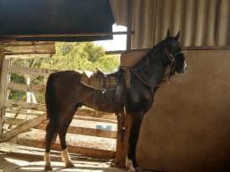 Vendo cavalo campolino inteiro registrado definitivo