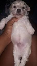 Vendo um filhote de poodle raça pura de pai e MÃE os pais estão no local