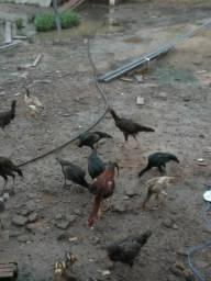 Vendo essas galinhas