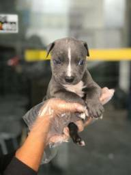 Pitbull blue nose a pronto entrega (11)9.7796.1054