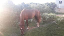 (vendo ou troco)cavalo Mangalarga
