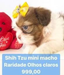 Raridade no Brasil olhos claros Shih tzu macho  melhor loja do Brasil