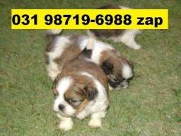 Canil Filhotes Cães Perfeitos BH Lhasa Poodle Yorkshire Basset Shihtzu Maltês