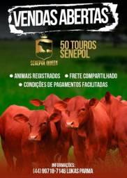 [3]Em 5 vezes(Touros Senepol PO ) R$ 11.000 cada + Sem comissão e frete compartilhado-
