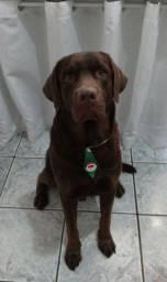 Cachorro raça labrador marrom chocolate