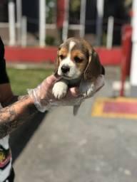 Beagle filhotes ¹