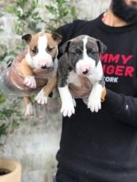 Título do anúncio: Bull Terrier Inglês tricolor/pirata/branco, info *