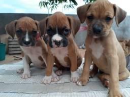Título do anúncio: Boxer filhotes puros! Fêmea/macho