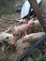 Título do anúncio: Vende-se porquinhas