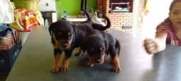Título do anúncio: Vendo Rottweiler macho e fêmea