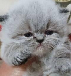 Título do anúncio: Filhotes de gatos persas machos puros.Entrego em Joinville,Camboriu,Florianópolis,etc