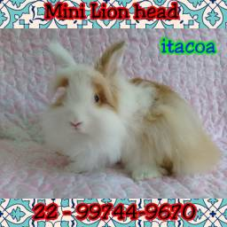 Mini coelho lion head