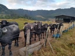 Título do anúncio: Búfalas prenhas murah