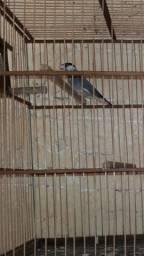 Vendo pássaro Calafat em Reptodução