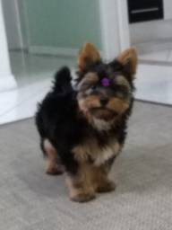 Vendo Yorkshire Terrier Fêmea