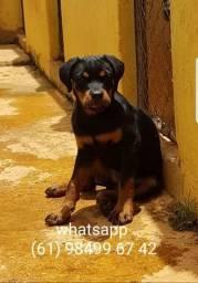 Vendo filhotes de Rottweiler Thor lacerda Rott x Dalila lacerda Rott