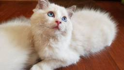 Ragdoll Fêmea 3 meses