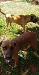 Cachorro fila macho disponível para cruzar