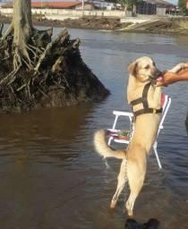 Preciso de uma cadela pra cruzar com o meu Labrador misturado