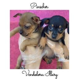 Título do anúncio: Pinscher com pedigree e microchip em até 12x