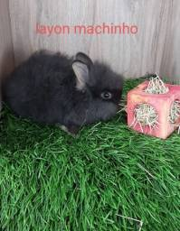 Título do anúncio: Mini coelhos disponíveis! Promoção de dia das crianças!