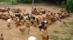 Vende-se galinha caipira 20$