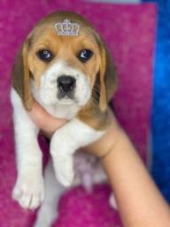 Título do anúncio: Beagle com pedigree e microchip