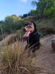 Labrador retriever puro