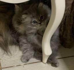 Título do anúncio: Filhote macho de gato persa com 2 meses