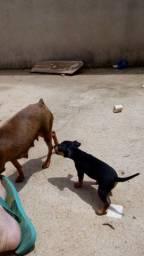 Título do anúncio: Cachorro Pincher 1