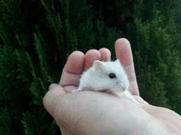Filhotes de hamster anão russo