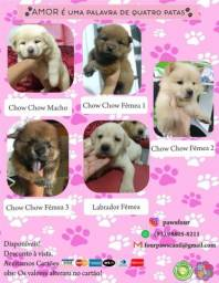 Filhotes Labradores e CHOW Chow Disponíveis para venda