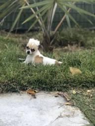 Chihuahua macho de pelo curto