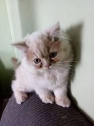 Lindo filhote de gato persa macho creme puro.Entrego em Curitiba e região metropolitana