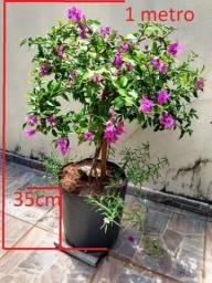 Primavera Lilás e Vermelha Linda Planta Bouganvillea Florindo 70cm Altura