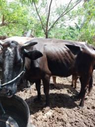 Vende-se uma vaca por 5.500